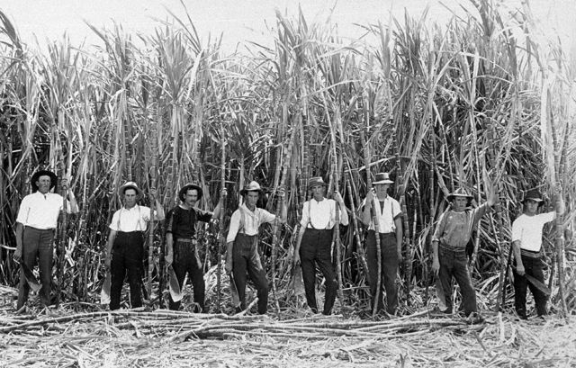 Photo: Work 4 Smith's gang of Cane Cutters with a stand of Malabar sugar cane, Nerang, Queensland, circa 1910. Guy Hunt, photographer. LS-LSP-CD144-IMG0016