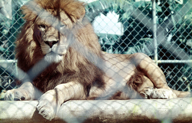 Photo: Animals 4 Lion at the Natureland Zoo, Coolangatta, Gold Coast, circa 1960 [picture] / Laurie Holmes, photographer. Asset name LS-LSP-CD262-IMG0002