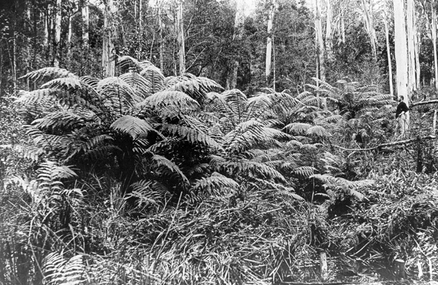 Photo: Forest 2 Massive tree ferns in a Hinterland gully on the Gold Coast, Queensland, circa 1912. Guy Hunt, photographer