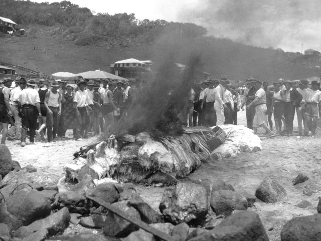 Photo: Events 4 Burning the beached whale carcass, Burleigh Heads, Queensland, Christmas 1926. LS-LSP-CD916-IMG0003